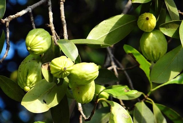 Garcinia Cambogia, une plante originaire d'Asie